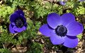 Anemona Coronaria, Violet Flower