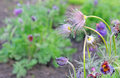 Anemona pulsatilla or pasqueflower in fall autumn selective focus Royalty Free Stock Image