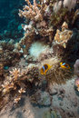 Anemone and anemonefish in the red sea 免版税图库摄影