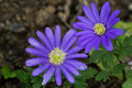 Anemone blanda Royalty Free Stock Photo