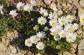 Anemone blanda Royalty Free Stock Photo