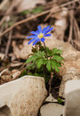 Anemone blanda blooms Royalty Free Stock Photo