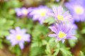 Anemone blanda blue shades flower blooming macro photograph Stock Image