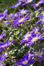 Anemone blanda flowers in the garden Royalty Free Stock Photo