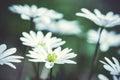 Anemone Blanda (Greek Windflower) in the garden Royalty Free Stock Photo