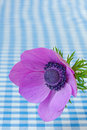 Anemone close up with copy space a purple coronaria in against a blue gingham background Stock Photo