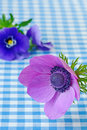 Anemone close up with copy space a purple coronaria in against a blue gingham background a blue viola in the background Royalty Free Stock Photo