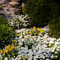 Anemone and daffodils in spring Stock Photography