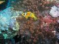 Anemone fish Royalty Free Stock Image