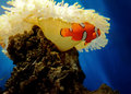 Anemone fish Stock Images