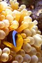 Anemone fish Stock Photography