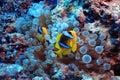 Anemone fish, clown fish, Royalty Free Stock Photo
