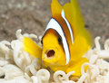 Anemone fish with open mouth Royalty Free Stock Photos