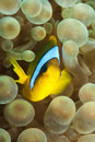Anemone fish on soft coral Royalty Free Stock Photos