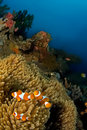 Anemone fishes Indonesia Sulawesi Stock Image