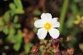 Anemone Flower In A Garden