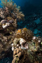 Anemone and glass fish in the Red Sea. Royalty Free Stock Photography