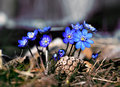 Anemone hepatica close up of in early spring Royalty Free Stock Photos