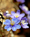 Anemone hepatica close up of in early spring Royalty Free Stock Images