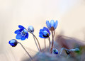 Anemone hepatica close up of wild in scandinavian forest in spring Stock Images