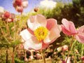 Anemone Japonica Royalty Free Stock Photography