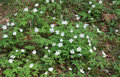 Anemone nemorosa snowdrop flowers growing in the forest Royalty Free Stock Photo