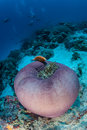 Anemone and Pink Anemonefish Royalty Free Stock Photo