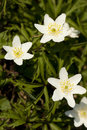Anemone white flower nemorosa in forest Stock Images