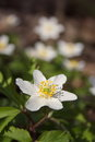 Anemone, white spring flowers in the forest Royalty Free Stock Photo