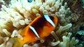 Anemonefish или clownfish в Красном Море Стоковые Фотографии RF