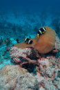 Anemonefish Royalty Free Stock Photos