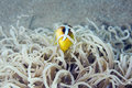 Anemonefish (Amphipiron bicinctus) Royalty Free Stock Photo