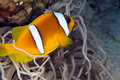 Anemonefish (amphiprionbicinctus) in the Red Sea. Royalty Free Stock Photos
