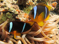 Anemonefish in an Anemone Stock Photos