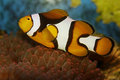 Anemonefish, Clownfish Stock Images