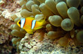 Anemonefish or clownfish in the Red Sea Royalty Free Stock Photo