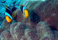 Anemonefish pair a of stands guard over their host anemone on an equatorial pacific reef Stock Photo