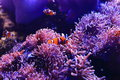 Anemonefish And Sea Anemone