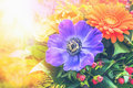 Anemones and gerbera in sunny flowers bunch toned Stock Photography