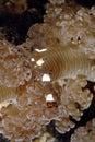 Anemones shrimp camouflage on anemone mabul island sabah Royalty Free Stock Photography