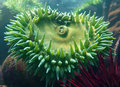 Anenome Stock Photo