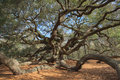 Angel oak charleston south carolina the tree is a southern live located on johns island near it is estimated to be in excess Stock Photo