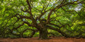 Angel Oak Tree Panorama Royalty Free Stock Photo