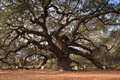 Angel oak tree southern live oak located johns island near charleston south carolina estimated to be excess years old thought to Stock Image