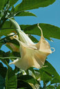Angel`s trumpet, brugmansia arborea Royalty Free Stock Photo