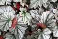 Angel-wing begonia Royalty Free Stock Photography