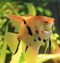 Angelfish Stock Photography