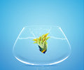 Angelfish jumping to other bowl Royalty Free Stock Photo