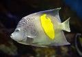 Angelfish - Pomacanthus, maculosus Royalty Free Stock Photo