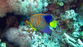 Angelfish royal ou majestueux, diacanthus de Pygoplites Photos libres de droits